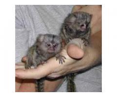 Adorabil Marmoset Maimuțe pentru adoptare
