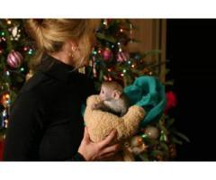 Minunatele scutece au fost instruite pentru adoptarea maimuței capucinilor
